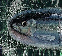 medium_sardine2.2.jpg
