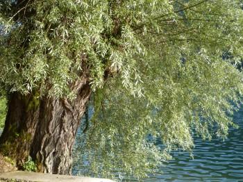 arbre,saule,eau,lac,nantua,récits des lisières,blog littéraire de christian cottet-emard,poésie,contemplation,lumière,tempsvent,air,brise,feuillage,mouvement,onde,frisson,droits réservés,éditions orage lagune express,bord du lac,esplanade du lac de nantua,sentier