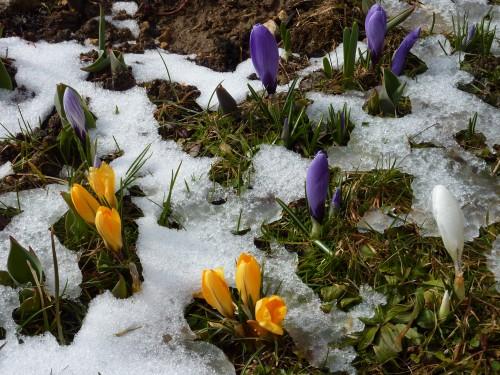 crocus,neige,printemps,fleur,renouveau,mars,blog littéraire de christian cottet-emard,saison,campagne,contemplation,nature,beauté,couleur